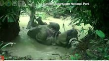 Endangered Javan rhino enjoys a mud bath