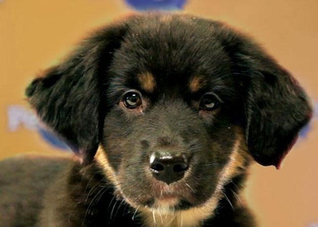 Althea, a 9-week-old Australian shepherd/Catahoula mix, loves to play and snuggle. (Photo by Keith Barraclough/DCL)