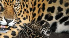 Avistan animales en riesgo de extinción en Caribe mexicano vacío por COVID-19