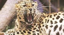 Bhubaneswar: Panic after leopard spotted near city airport