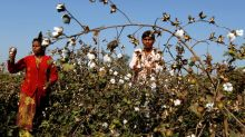 India set to cut Monsanto's GM cotton seed royalties by 20 percent: sources