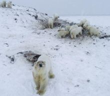 Dozens of hungry polar bears causing problems for a Russian village