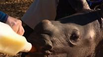 Raw: Baby White Rhino Debuts at Australian Zoo