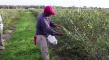 U.S. farms face crop losses due to foreign worker delays