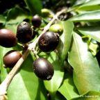 A rediscovered forgotten species brews promise for coffee's future