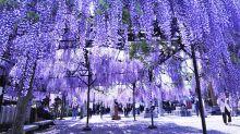 大片紫藤瀑布不輸足利公園 聞名日本大藤祭典