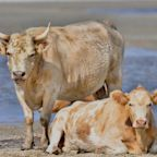 3 Cows Sent Adrift by Hurricane Dorian Found Alive on North Carolina Shore Months After Storm