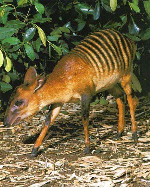 <strong>What is it? </strong>The zebra duiker is a small antelope found primarily in Liberia.<br /> <strong>Size: </strong>An adult can grow to 35 inches in length, 18 inches in height, and 44lb in weight.<br /> <strong>Lives:</strong> In lowland primary rainforests in areas of the midwestern parts of Africa, including Liberia, Sierra Leone and the Ivory Coast.<br /> <strong>Eats:</strong> Fruit, foliage, and seeds. Though rare, they may eat rodents on occasion.<br /> <strong>Fact:</strong> Zebra duikers are common prey to leopards, African gold cats, African rock pythons, and the crowned eagle. Humans also hunt them for bush meat.They are considered Vulnerable by the IUCN due to deforestation, loss of habitat, and overhunting.<br />