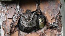 Modern Family: Entenküken wird von Eule ausgebrütet