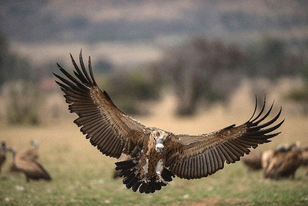 A Cape Vulture spreads its wings as it flies low at the VulPro Vulture Rehabilitation Centre in Hartebeepoortdam, South Africa in 2015; the brains of endangered vultures are smoked in South Africa to boost foresight and predict lottery numbers