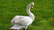 Fierce swan forces woman to wear mask properly in viral video