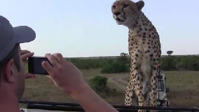 Face to Face With a Cheetah!