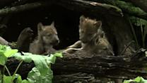 Raw: Endangered Wolf Pups Debut at Illinois Zoo