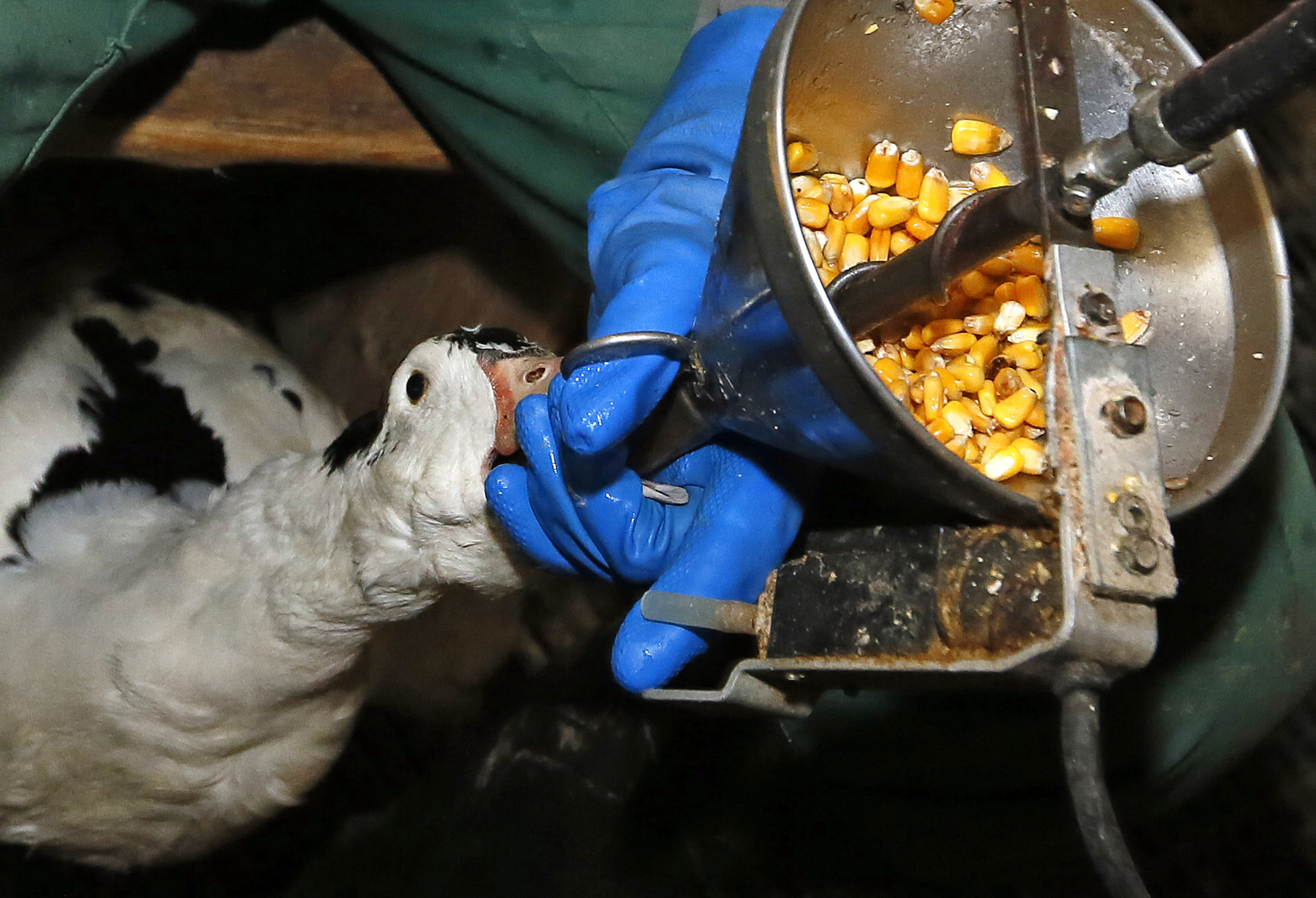 FILE - In this Dec. 8, 2016, file photo, foie gras producer Robin Arribit force-feeds a duck with corn in La Bastide Clairence, southwestern France. Foie gras is back on the menu in California after a judge ruled the rich dish can't be prevented from being brought in from out of state. California's ban on the delicacy, the fattened liver of a duck or goose, was challenged by out-of-state producers. An appeals court upheld the ban, but on Tuesday, July 14, 2020, a judge ruled for the plaintiffs, including farmers in Canada and New York. (AP Photo/Bob Edme, File)