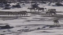 Harsh words — and different strategies — divide Innu Nation, Nunatsiavut government on caribou plan