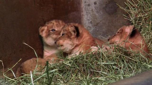 Four Baby Lion Cubs Born at Seattle Zoo