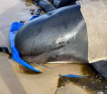 Australia plans disposal of hundreds of stranded whale carcasses