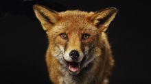 N.J. Woman kills rabid fox after attack: 'I had to do something'