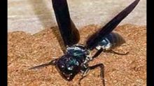 Warrior wasps: Small insects with world's most painful sting
