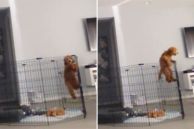 Puppy's inner escape artist caught on camera as he scales playpen