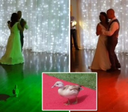 Here Comes the Duck: Bold Bird Crashes Couple's Wedding, Upstaging the Bride