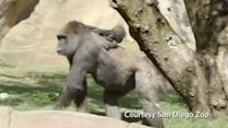 Baby gorilla with tough birth shows independence