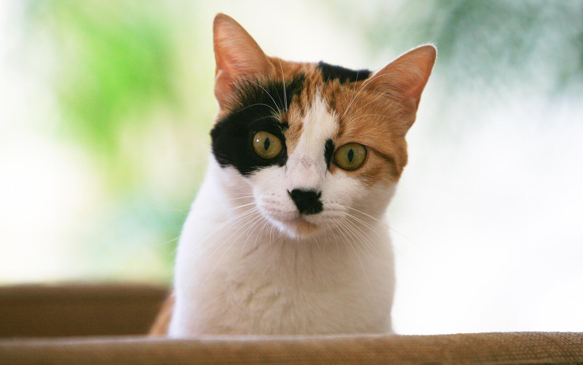 The 50 Most Popular Calico Cat Names For Your Multi Colored Kitty