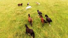 Drone films horses running majestically through meadow
