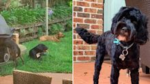 New details emerge after four dogs maul pet to death in family backyard