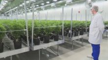 New Brunswick hopes cannabis can help drive rural economic recovery