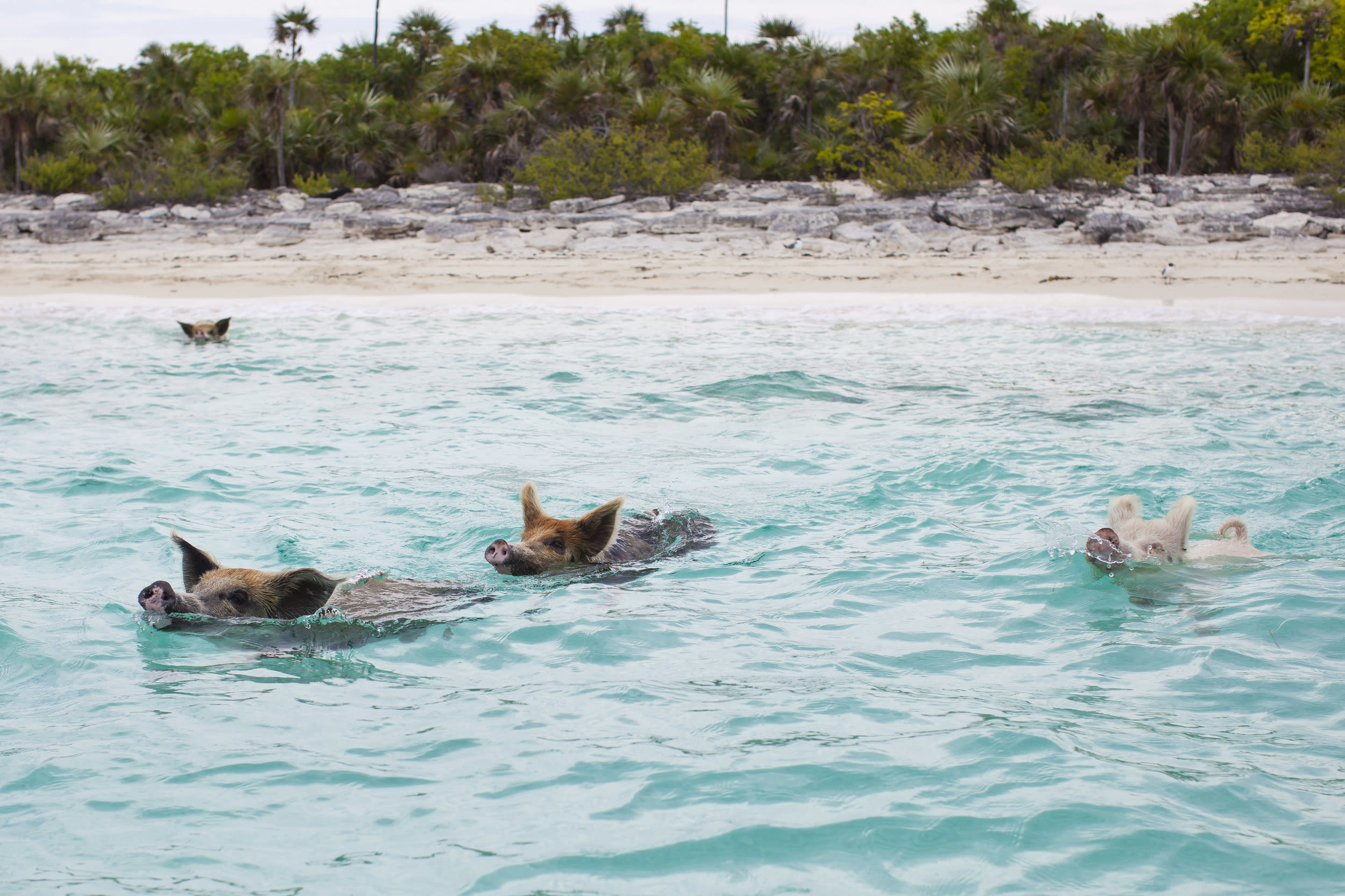 Pig Beach, or Pig Island, is an uninhabited island in Exuma, the Bahamas, famed for its many swimming pigs. They are said to have been dropped off on the island by sailors who wanted to return to cook and eat them, but never returned. Others say the pigs survived a shipwreck and managed to swim to the island. Today, the pigs are fed by tourists who visit the island to meet its unexpected residents.