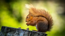 "Calls for a 5,000-strong ""Red Squirrel Army"" to help protect native British animal"
