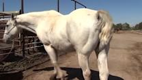 Thieves snip horse hair, sell it online