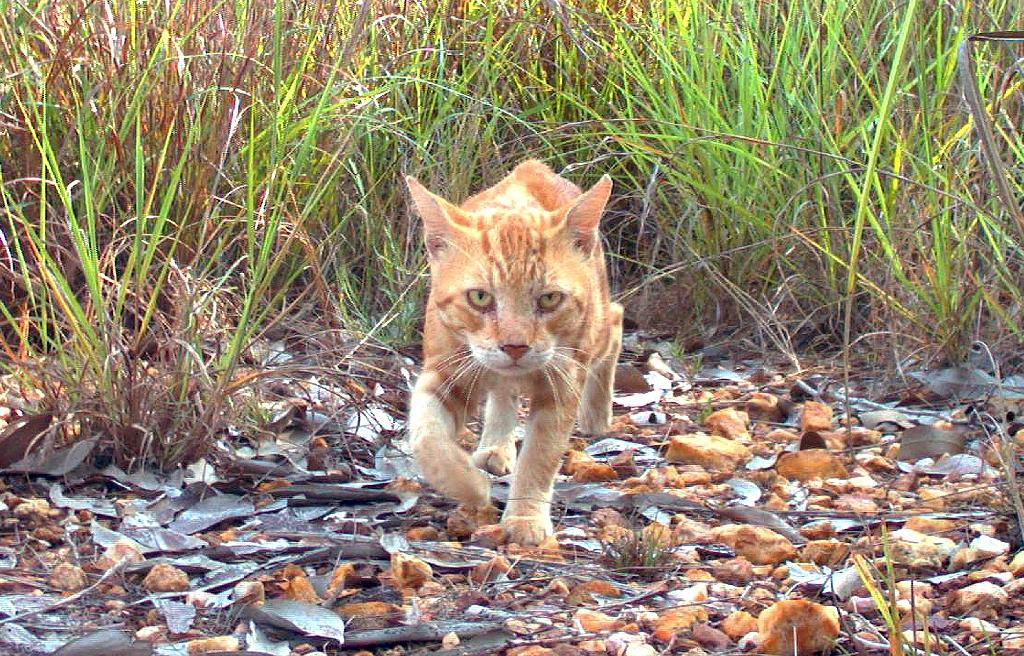 Australian plans to cull two million feral cats, like this one in the Northern Territory, have been criticised by Brigitte Bardot as cruel and useless (AFP Photo/HO)