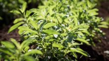 PureCircle Begins Partnering With U.S. Farmers Who Have Grown Tobacco, To Now Grow Stevia