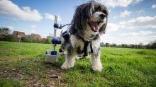 Cachorrinha paraplégica volta a andar graças à cadeira de rodas especial