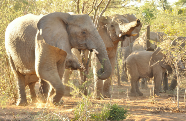 The hunting party came across a herd of elephants like this one (Picture: Rex)