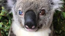 This Injured Koala Bear Has Eyes That Make Her Look Like David Bowie