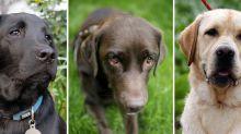 Hundeleben: Schokofarbene Labrador Retriever leben kürzer
