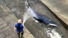 Why do whales swim up the Thames?