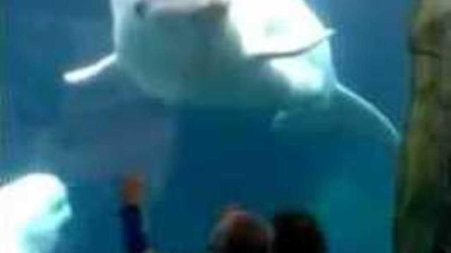 Playful Beluga Whale Teases Kids