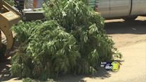 Fresno County's biggest pot bust of 2013