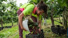 B.C. cherry season soured by COVID-19