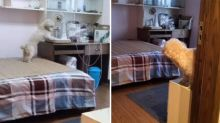Intelligent dog completes its bedtime routine as instructed by owner
