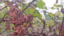 Grape farmers in Pingalwade hit with crores worth of damage due to unseasonal rains, look to new Maharashtra govt for relief