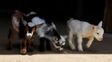 Spring Has Sprung With Adorable Goat Kids