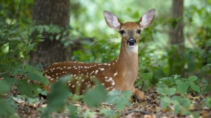 'Zombie' deer disease strikes at least 24 states