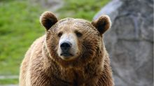 Yellowstone Grizzlies Lose Endangered Status