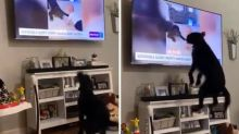 After seeing himself on TV, labradoodle jumps for joy at new-found fame