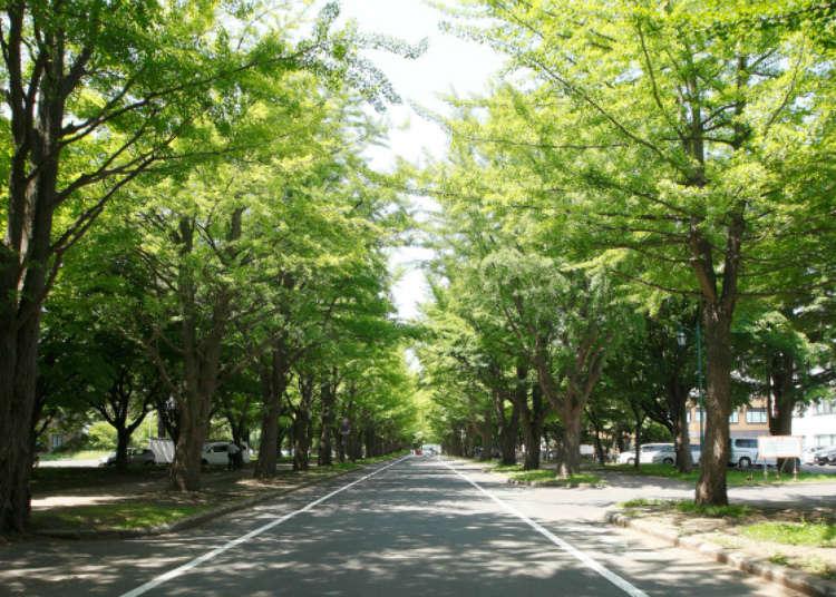 北海道札幌觀光必去景點「北海道大學」漫步行程